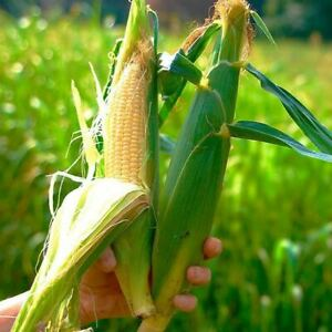 30 Sweet Corn NORTHERN EXTRA SWEET F1 Seeds – Reliable Early Variety – Free Post