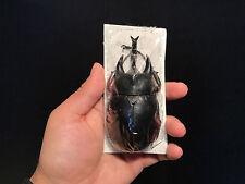 Entomologie Insecte Femelle / Megasoma actaeon Male +105 mm A1 du Pérou!