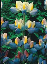 Flower - Lupin - Sunrise - 20 Seeds