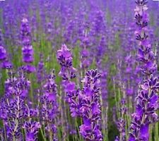 LAVENDER VERA HERB-600 Seeds-Open Pollinated.
