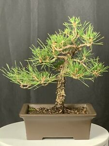 Pine Bonsai Trees For Sale In Stock Ebay