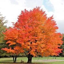 20 FALL FIESTA SUGAR MAPLE SEEDS - Acer saccharum Fall Fiesta