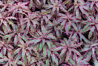 Exot Pflanzen Samen exotische Saatgut Ziergras rote Bromelie