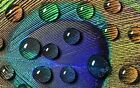 Peacock Waterdrops Home Decor Canvas Print, choose your size.