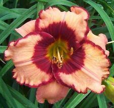 Daylily Plant PAULINE SPRINKLE 2 Fans Perennial Selman Peach Maroon Flower