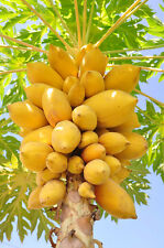 BULK BUY 50+ SEEDS, HEAVY FRUITING YELLOW PAWPAW. FRUITS FROM A YOUNG AGE