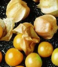GROUND CHERRY Physalis Pubescens Golden Strawberry Lantern Vegetable 20 Seeds