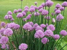 wilder Schnittlauch Allium winterhart Garten Pflanze Bio Kräuter violett