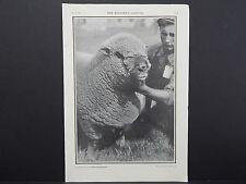 The Breeder's Gazette Nov 28 1906 Photographic Print #11 Sheep, An Artist