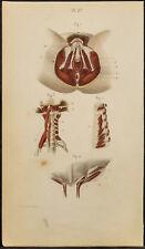 1846 - Placa Anatomía, Myologie : Músculos partes genital femenino, esternón
