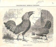 Zouave coq de combat poulailler poule ferme campagne en France GRAVURE 1861