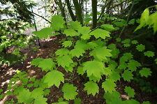 Acer circinatum VINE MAPLE TREE Seeds!