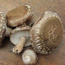 Mushroom Shiitake - 30 plugs