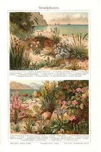 1905. BOTANY. BEACH PLANTS & FLOWERS. Antique chromolithography