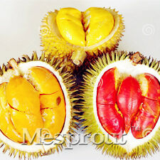 Durian Seeds Tree King Of Fruit Durian Seed Rare Plants Bonsai Free Shipping 5pc