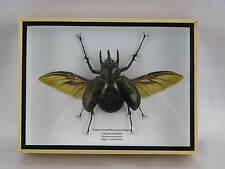 Three-horned Rhinoceros Beetle - XXL in 3D - echtes riesiges Insekt  Schaukasten