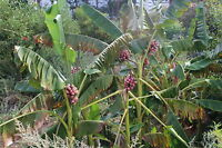 100 Samen Rosa Zwergbanane (Musa velutina) Saatgut