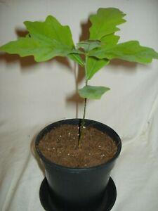 2x English Oak Quercus robur Tree Seedling future bonsai