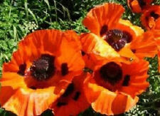 500 Oriental Poppy Seeds Scarlet Orange Poppy Seeds (Papaver)