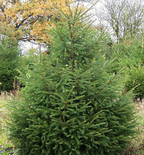 100 Norway Spruce Christmas Trees 40-60cm,Quick Growing  Evergreen Plants 1-2ft