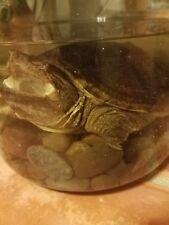 wet specimen snapping turtle