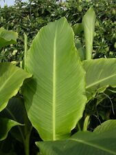 Canna tuerckheimii Giant canna Young Plant 9cm pot Large Tropical Foliage Plant