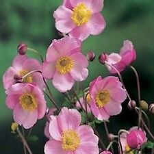 30+ Pink Anemone Flower Seeds / Japonica / Perennial