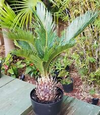 "SAGO PALM Cycas revoluta live plant great for bonsai! 4"" pot"