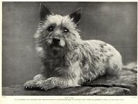 1930s Antique CAIRN TERRIER Dog Print Vintage Cairn Terrier Dog Photo 3739 M