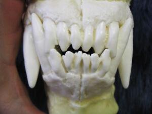 Medium reproduction polar bear teeth jaws cast  REPLICA