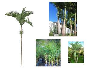 Bangalow Palm Tree Plant Fresh Seeds 12+