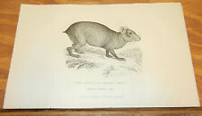 1827 Antique ANIMAL Print//AGUTI, or OLIVE CAVY