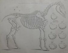 1831 ANTIQUE FARRIER HORSE PRINT ~ SKELEON STRUCTURE OF THE HORSE TEETH