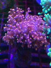 Pink Frogspawn  WYSIWYG Live Coral Frag - Pop Corals Candy Shop