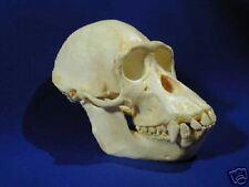 Pygmy Chimpanzee Skull REPLICA