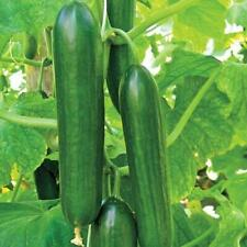 Ashley Long Cucumber Seeds 25+ Ct Vegetable HEIRLOOM NON-GMO USA FREE SHIPPING