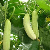 100stk Samen Weiße Gurke Weißer Engel Rarität Gurkensamen Gemüsesamen Pflan W1Q2