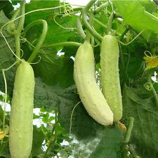 100stk Samen Weiße Gurke Weißer Engel Rarität Gurkensamen Gemüsesamen Pfl Gift