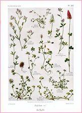 ▬► Planche botanique - Gaston Bonnier - Papilionacées - Trifolium (suite2) 1914