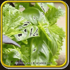 Basil- Clove- 50 Seeds- Bogo 50% off Sale