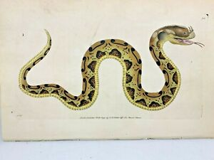 Horn-nosed Snake - 1783 RARE SHAW & NODDER Hand Colored Copper Engraving