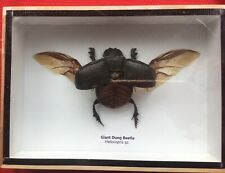 REAL EGYPTIAN SCARB DUNG BEETLE HELIOCOPRIS DOMINUS TAXIDERMY INSECT DISPLAY