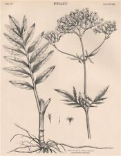 Valeriana Officinalis (Great Wild Valerian) 1898 old antique print picture