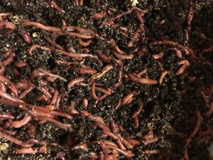 Live Worms, pet food , turtles , fish, birds-  - 2LB