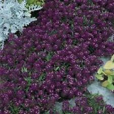 Alyssum- Oriental Nights- 200 Seeds