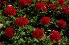 25 graines de VERVEINE HYBRIDE ROUGE (Verbena Hortensis) X321 SEEDS SEMI SAMEN