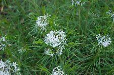 Amsonia hubrichtii BLUESTAR Perennial Seeds