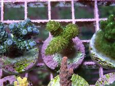 New listing Event Horizon Millipora Acropora -Wysiwyg Live Coral Frag- Coral Savers