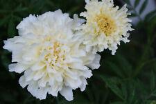 Tagetes halbhoch weiß - 50 Samen