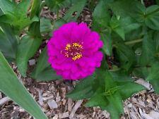 250 VIOLET QUEEN ZINNIA Elegans Purple Double Dahlia Heirloom Flower Seeds +Gift